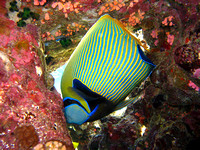 Emperor Angelfish(Pomacanthus Imperator)at Elphinstone Reef